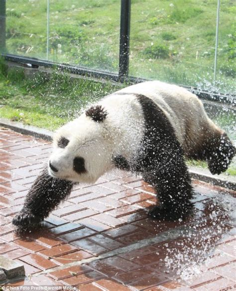 Baby Bath And Shower playing it cool a giant panda gets a shower in sweltering
