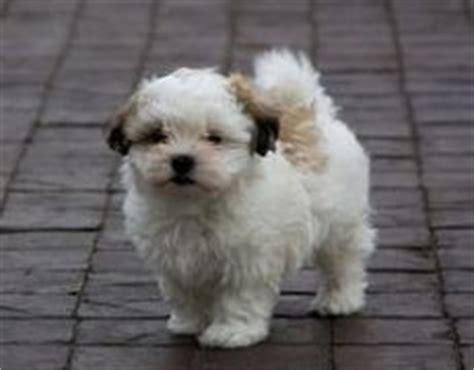 shih tzu maltese mix temperament mal shi maltese x shih tzu mix temperament puppies pictures