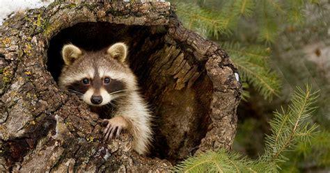 raccoon animal wallpapers