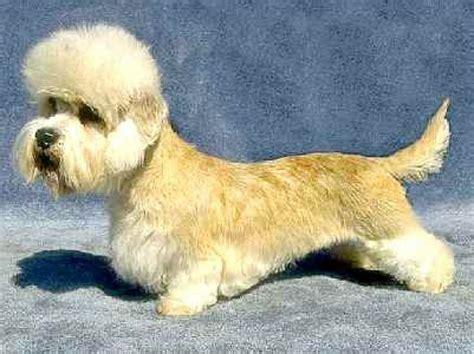 dandie dinmont terrier puppies for sale 17 best images about dandie dinmont terrier shedding dogs on white terrier
