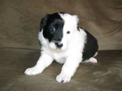 border collie puppies michigan photos