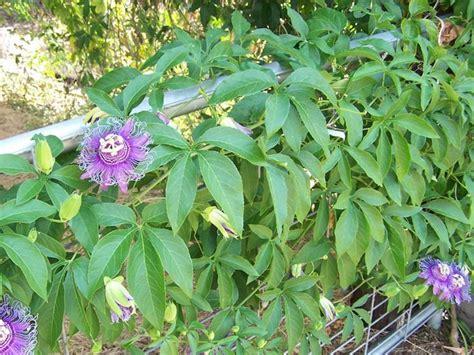 fiori di passiflora passiflora fiore della passione fiori