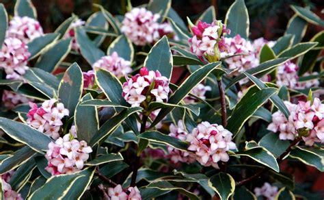 hardy flowering evergreen shrubs odora aureomarginata fragrant hardy evergreen shrub