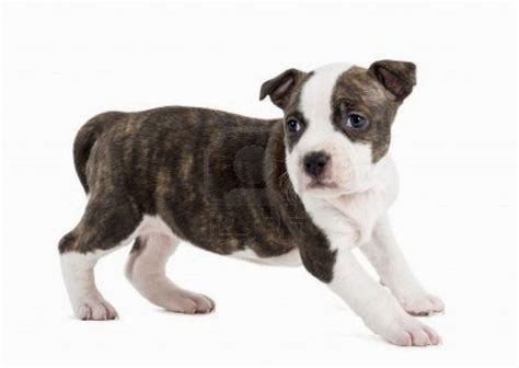 american best puppies american staffordshire puppies puppies puppy