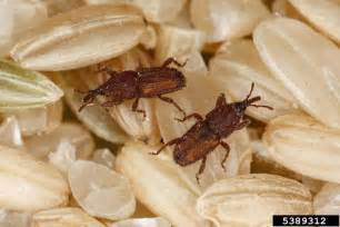 how to prevent and get rid of grain weevils food nigeria