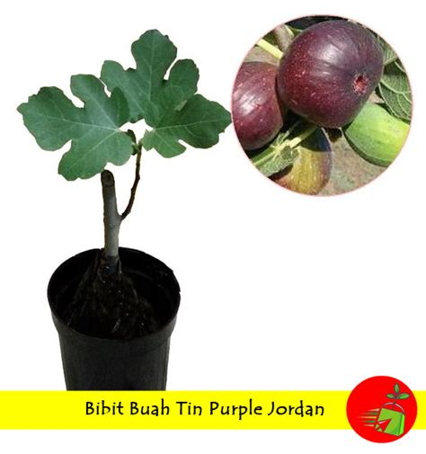 Bibit Tin Purple bibit buah tin purple 50 cm jualbenihmurah
