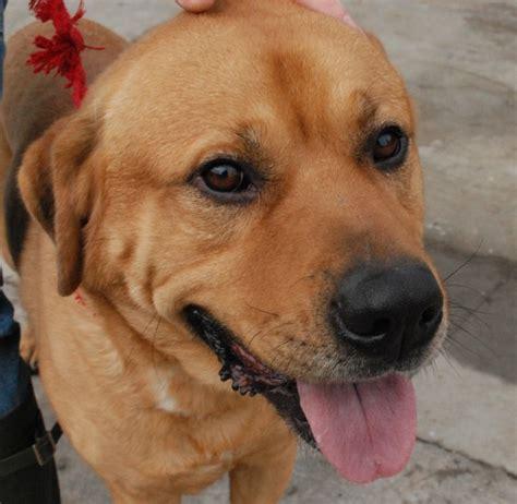 labrador cross rottweiler puppies zak 5 year labrador cross rottweiler for adoption