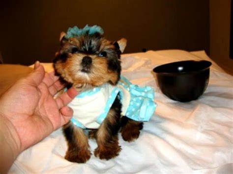 yorkies for sale in va sweet potty trianed small size yorkie puppies ready adoption in virginia 225421