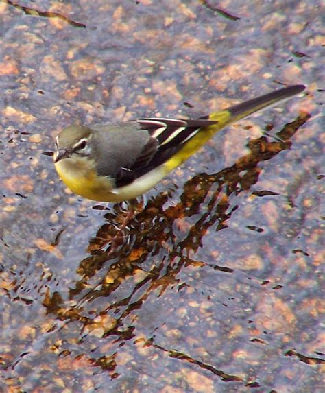 grey wallpaper yellow birds grey wagtail photos and wallpapers collection of the grey