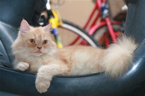Hair Dryer Kutu cara memandikan kucing dengan sho kutu jamur