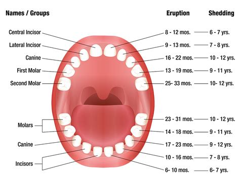 definition pattern teeth teeth eruption chart for deciduous and permanent teeth
