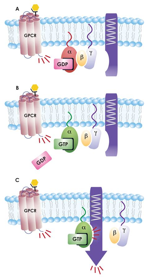protein activation g proteins and their coupled receptors cayman chemical
