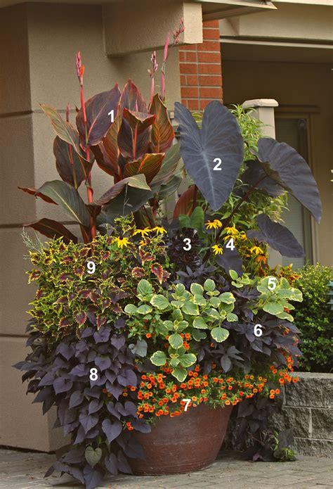 tropicanna black  todd holloway container garden flickr