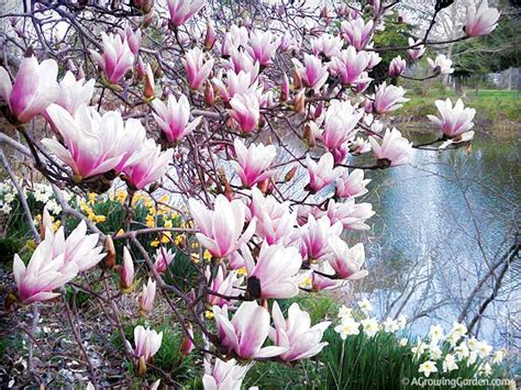 our japanese magnolia tree in bloom