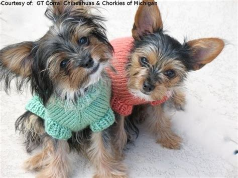 chorkie haircut styles 24 best images about i love my chorkie on pinterest