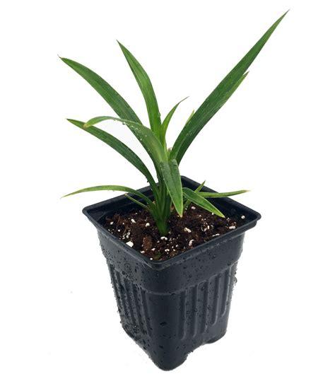 live indoor plants pandan spice plant amaryllifolius pandanus grow indoors