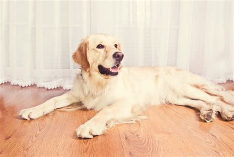 perros golden retriever gratis perro lindo golden retriever descargar fotos gratis