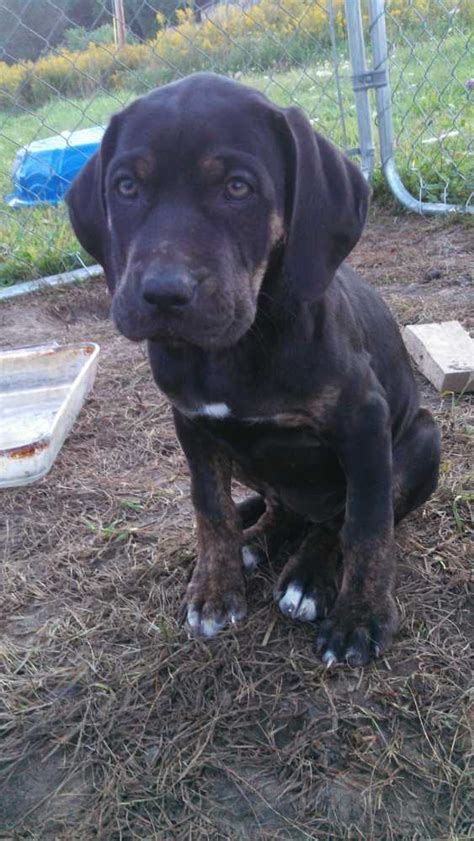 catahoula leopard for sale catahoula leopard puppies for sale florida breeds picture