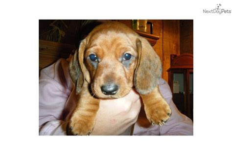 dachshund puppies for sale in illinois dachshund puppies for for sale in central illinois breeds picture