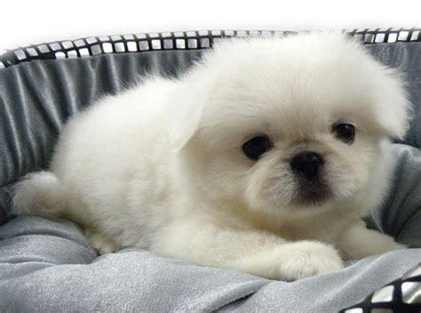 white pekingese puppies pekingese puppies sold 5 years 10 months white pekingese from klang selangor