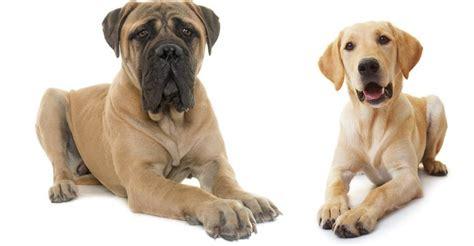 lab mastiff mix puppies mastiff lab mix a complete guide to the mastador
