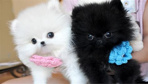 teacup puppies pomeranian wix teacup maltese teacup yorkie and maltese