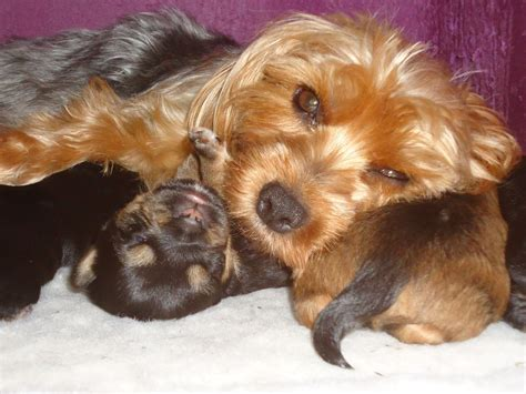 yorkie crossed with chihuahua yorkie cross chihuahua puppies for sale plymouth pets4homes