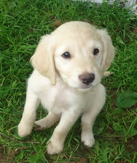 golden retriever miniature mini golden retrievers shady ranch