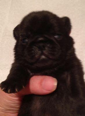 pug breeders nsw baby pug puppies classifieds the pet directory the pet directory