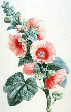 hollyhock tattoo designs alcea rosea stokroos hollyhock flower