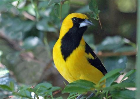 bright yellow bird with black wings pictures on animal