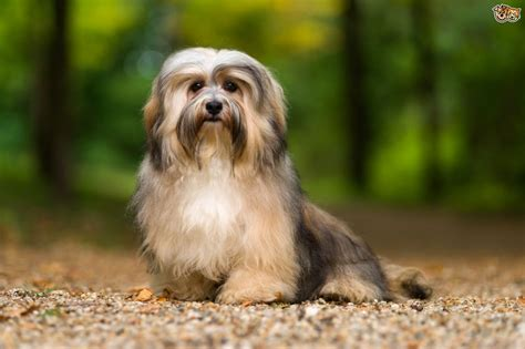 havanese dog breed facts highlights buying advice