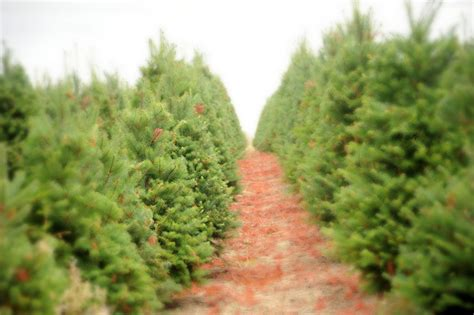 christmas tree farm in oregon how to choose a living tree to replant after inhabitat green design innovation