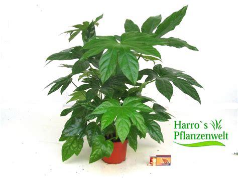 harros pflanzenwelt fatsia japonica aralie kaufen herausragende qualit 228 t