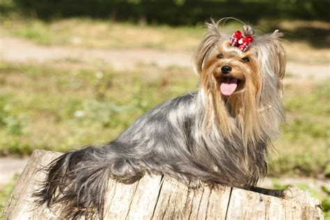 pics of long hair dark browm terriers 10 long haired dog breeds pawculture