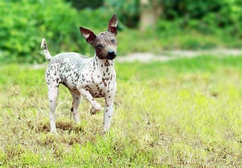 american hairless terrier puppies american hairless terrier puppies for sale akc puppyfinder