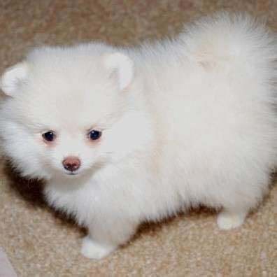 pomeranian puppies for sale in greenville sc stunning teacup pomeranian puppies for sale from greenville south carolina adpost