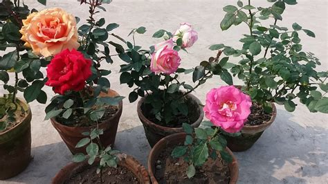 how to care rose plant hindi youtube