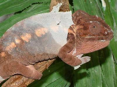 Panther Chameleon Shedding by Uv Transmission Through Reptile Skin Shed