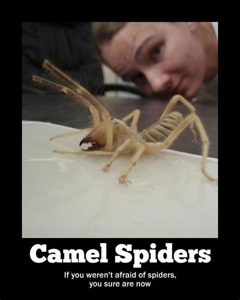 Scary Spider Meme - i m afraid of camels and spiders and now camel spiders