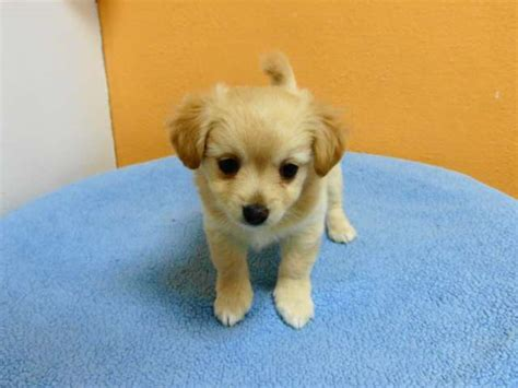 chihuahua and pomeranian mix puppies for sale pin yorkie pomeranian mix puppies for sale chihuahua on