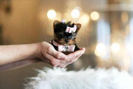 teacup yorkie allergies 25 best teacup puppies ideas on teacup dogs teacup animals and