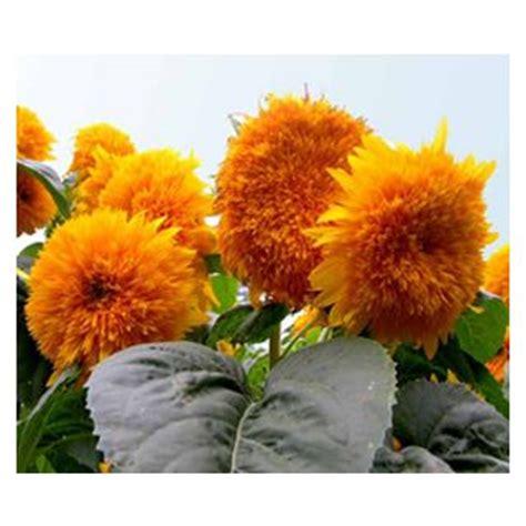 Bibit Biji Benih Bunga Italian White Sunflower Matahari menjual biji anak benih keratan bulbs bunga matahari