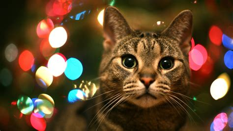 images of christmas cats christmas cat free download cute christmas cat hd