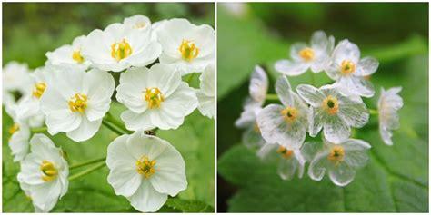 Lipstik Bunga Transparan keajaiban alam bunga putih berubah transparan saat kena