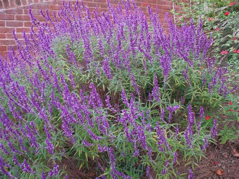 online plant guide salvia leucantha all purple all