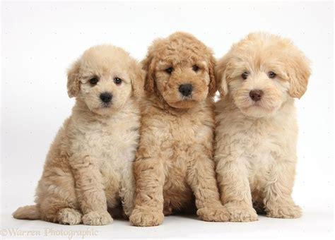goldendoodle puppy guide die besten 17 ideen zu goldendoodle auf