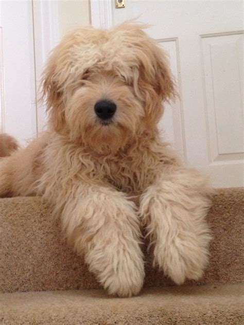 your doodle puppy year only a week to go apricot f2b goldendoodle pups