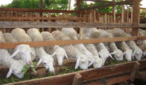 Fermentasi Pakan Ikan Cupang budi daya peternakan pertanian dan perkebunan cara