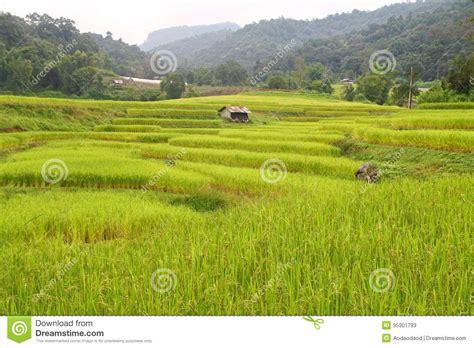 terrazze della risaie e vista a terrazze della casetta tailandia